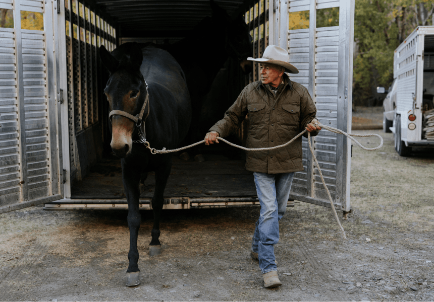 horse being led out of a livestock trailer