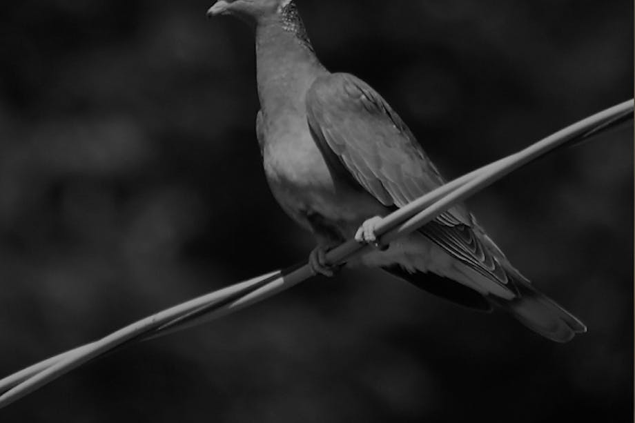 hgt-podcast-pigeon-feature-image