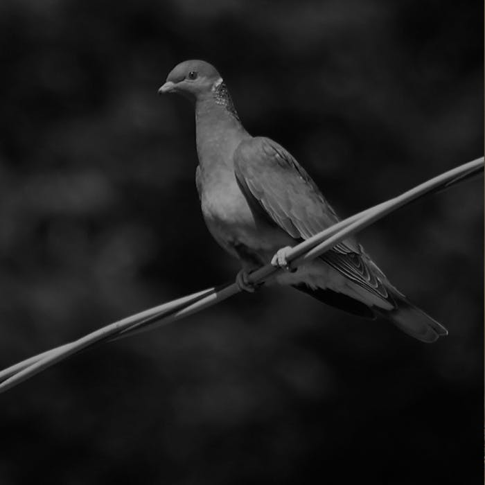 band tailed pigeon perched on a wire