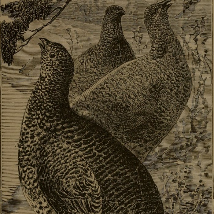 hgt-podcast-spruce-grouse-feature