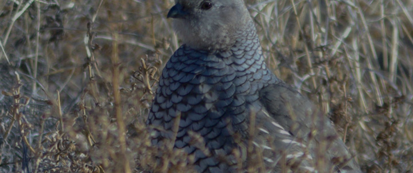 scaled-quail-featured-image