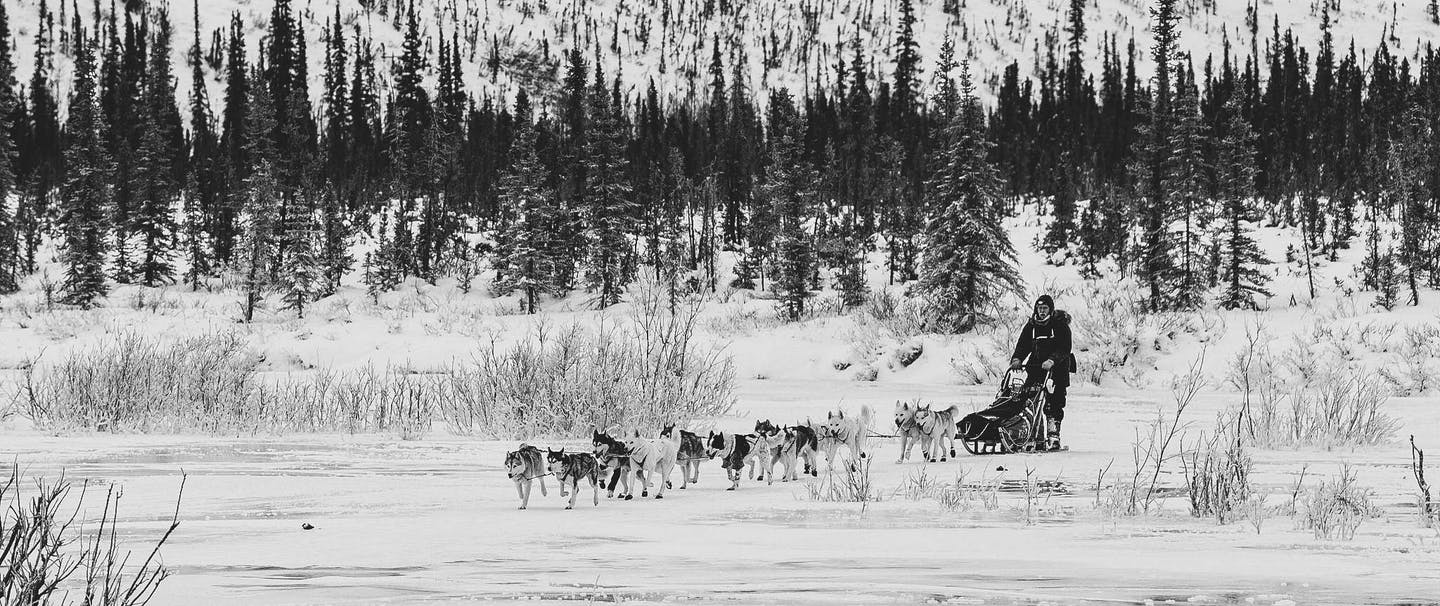 sled dog team pulls sled in snow from out of pine forest