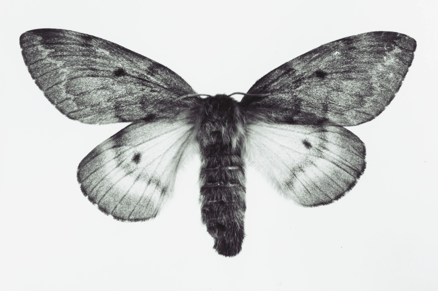 Black and white macro image of Furry Moth
