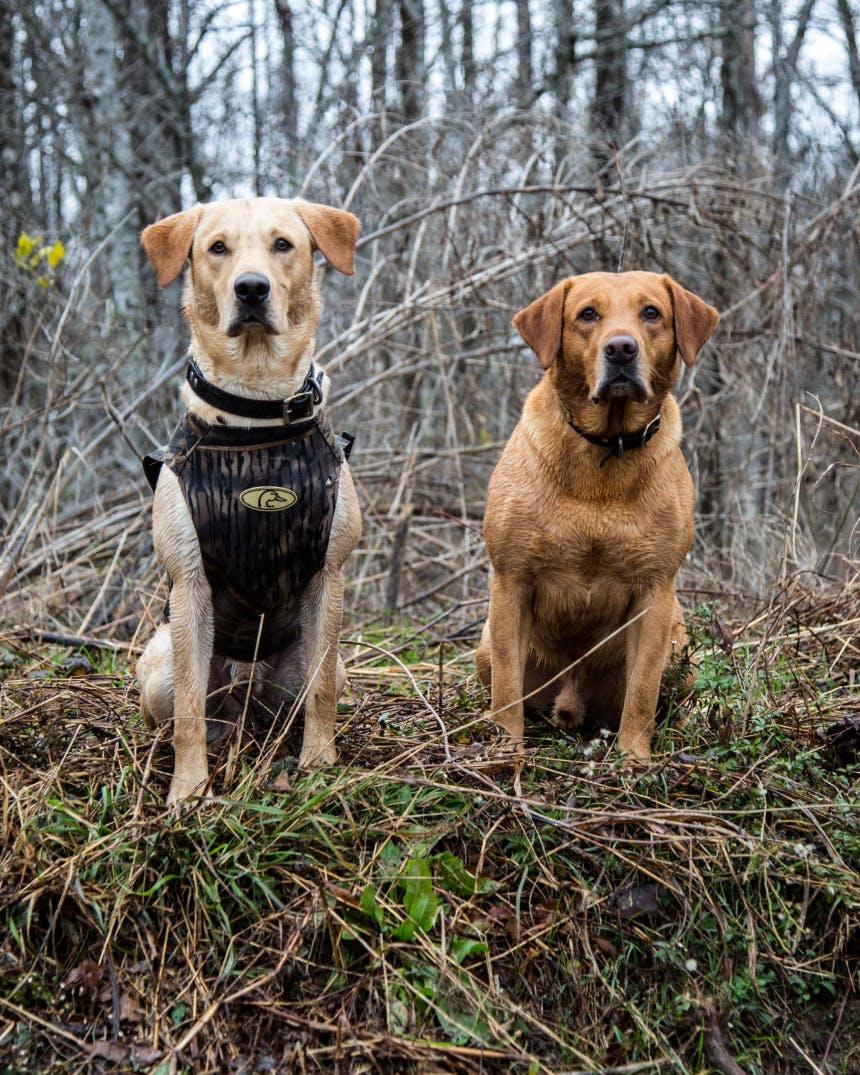 two hunting dogs sit at attention in scrubby forest