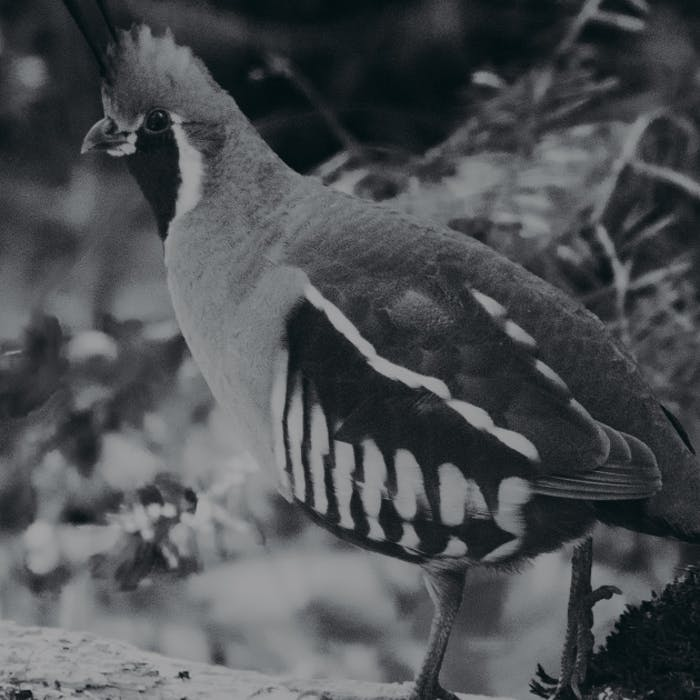 Black and White image of Mountain Quail on Branch