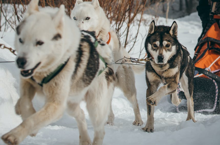 sled dogs running a musher's sled through snow