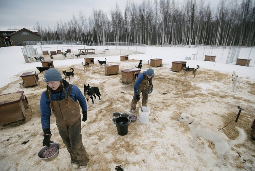 people in a dog pen for sled dogs, two women feed them at their separate stations