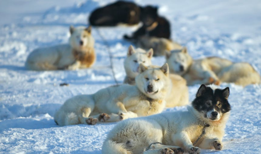 train of sled dogs on a line lying in the snow