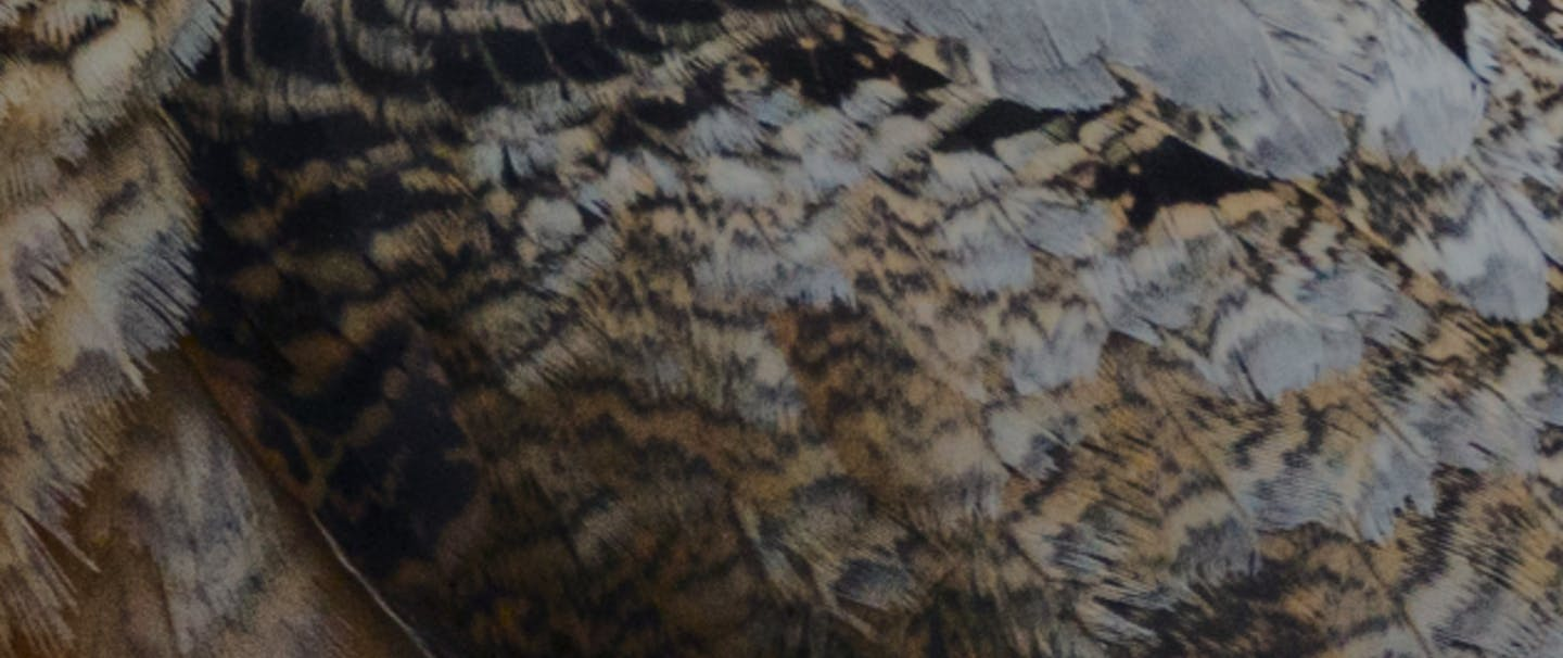 closeup image of american woodcock feathers
