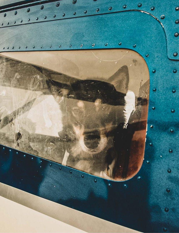 sled dog seen through window of plane