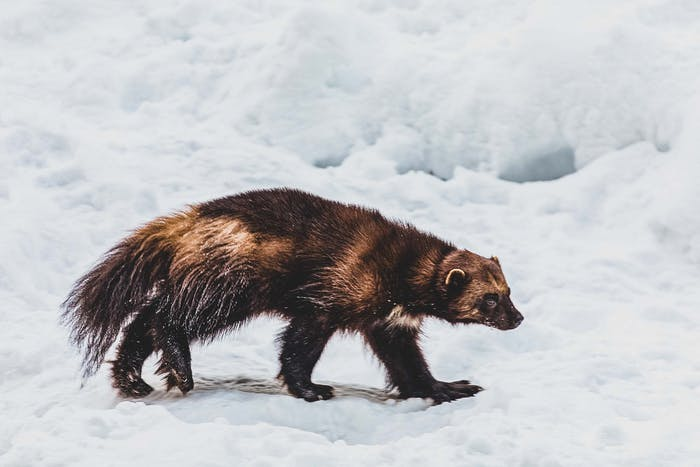 wolverine walking on snow