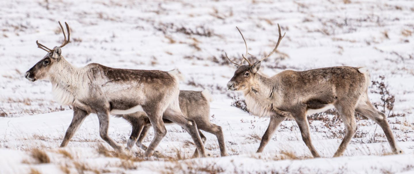 three caribou walking through a snow covered tundra type landscape