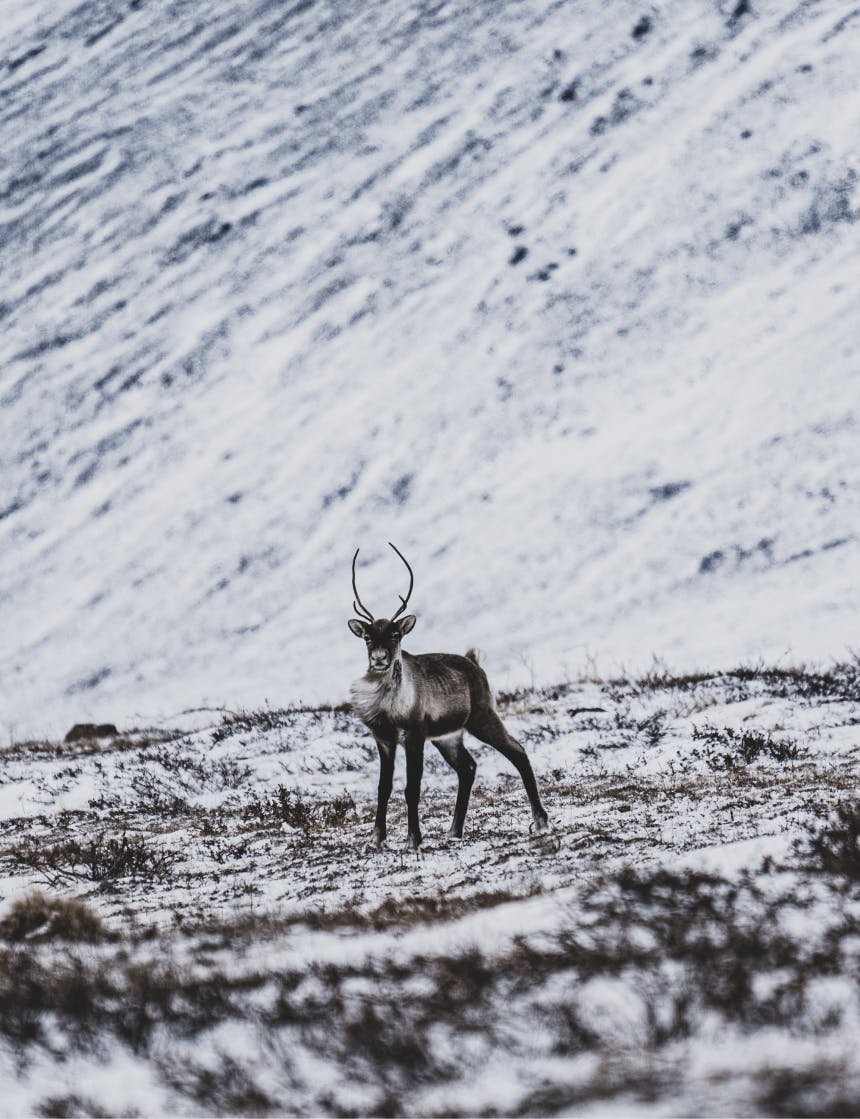 caribou standing in frozen tundra