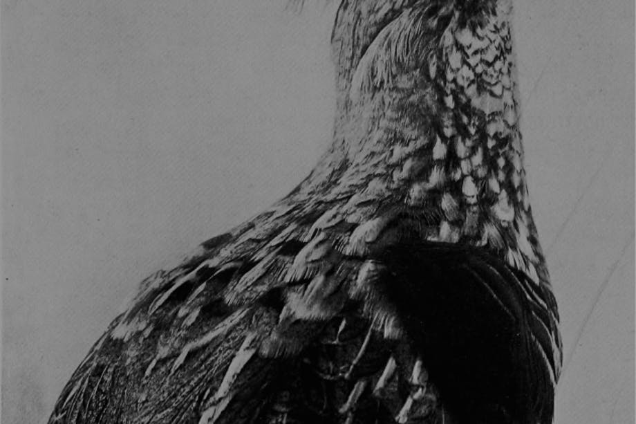 black and white image of ruffed grouse in profile