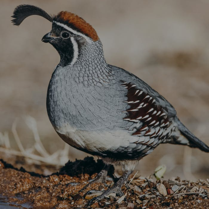 desert quail. gray and brown feathers with a black plume