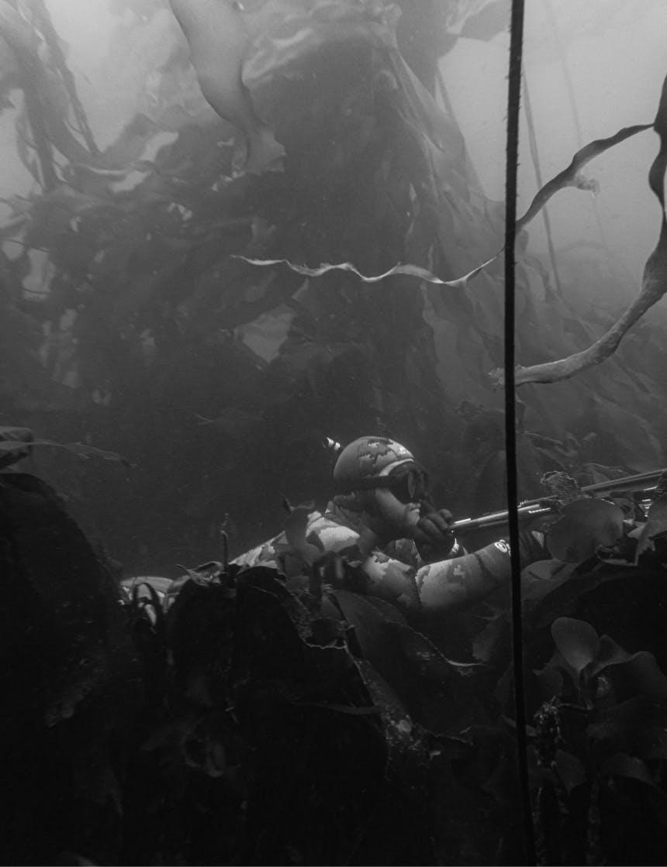 man in snorkeling gear underwater aiming a harpoon gun amongst a large kelp forest