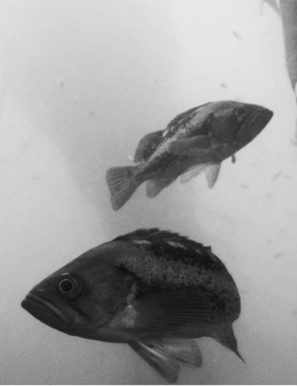 two rockfish underwater
