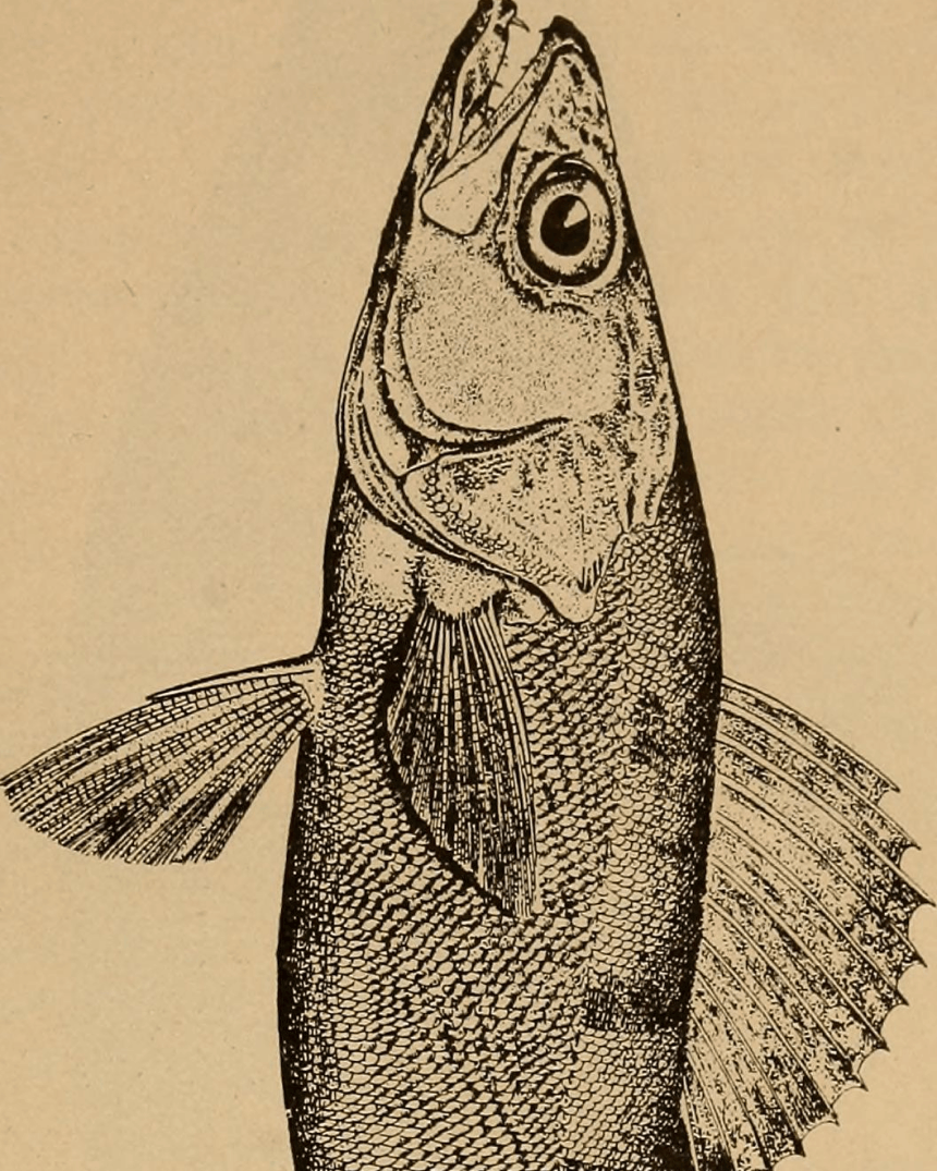 etching style illustration of a fish