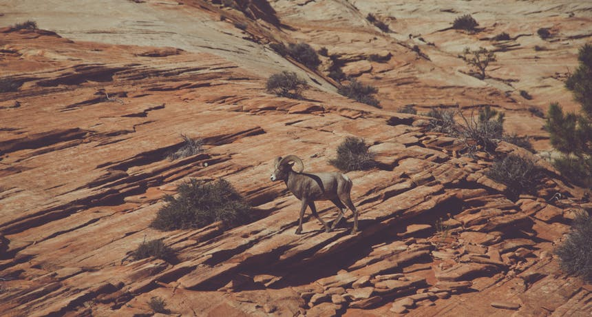 bighorn sheep walking along a petrified sandstone dune dotted with desert shrubs