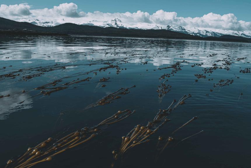 Bull kelp in ocean.