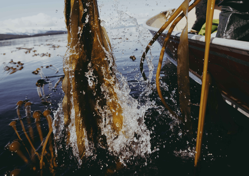 Action shot of bull kelp being pulled from the water.