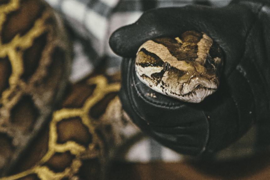 Woman holding large Burmese python snake.