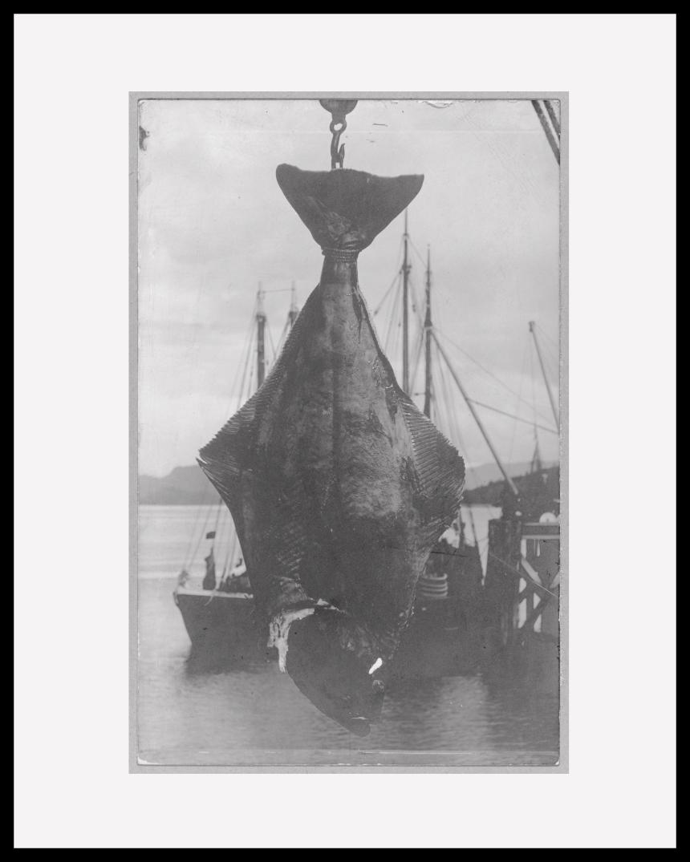 A 200lb halibut caught in Alaska.