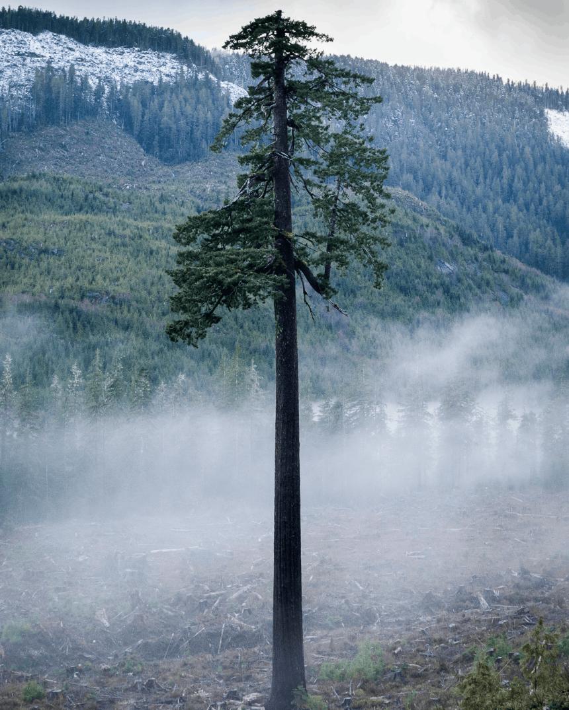 Large fir tree.
