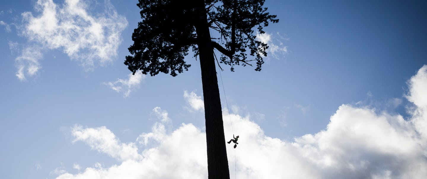 Silhouette of a small figure hanging from a gigantic fir tree.