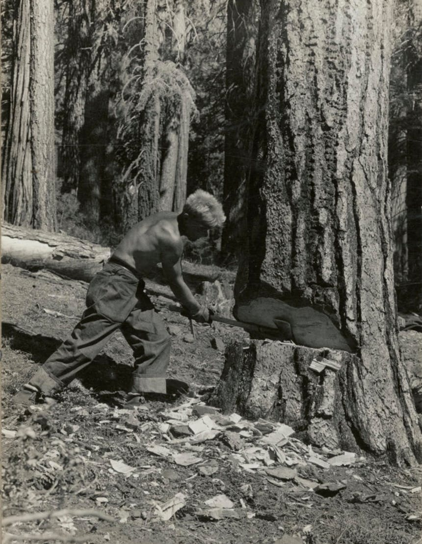 a black and white image of a shirtless short haired blonde man holding an axe in the wedged out base of a tree cutting it down in a thick forest