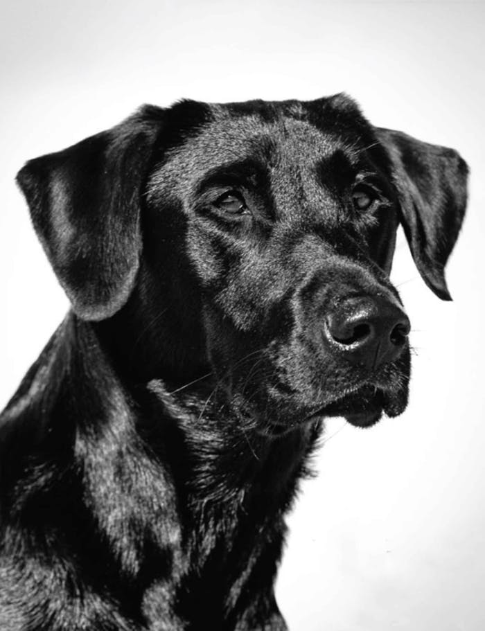 black and white portrait of a black lab sitting