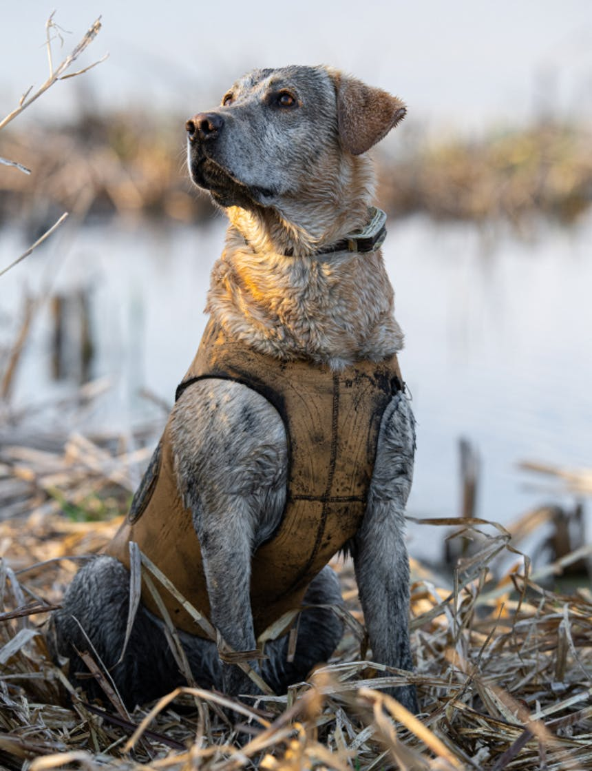 a yellow lab sitting in a marsh looking toward his owner waiting for the next command wearing a yellow vest