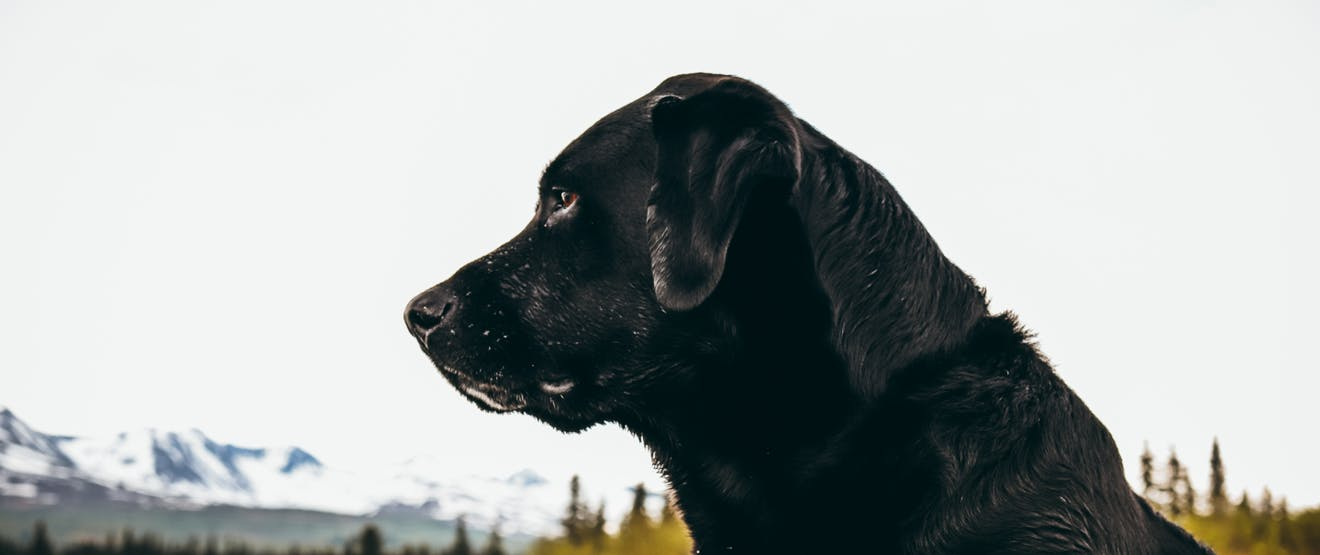 a close up of a black lab looking off to the left