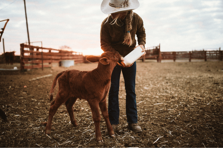 Cowgirl feeding baby cow with bottle