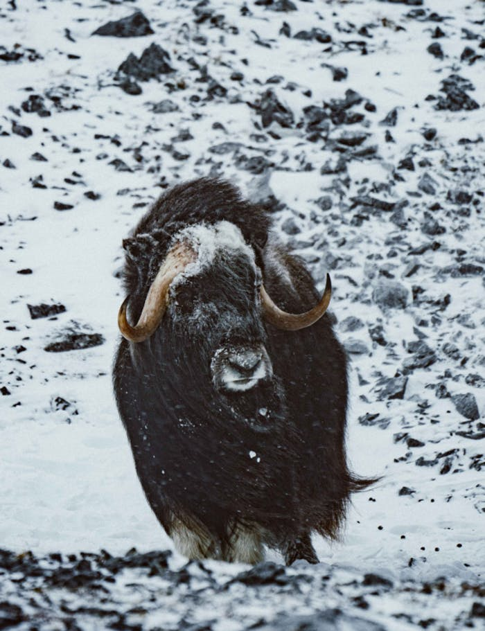 a muskox standing stoiclyon rocky snow covered ground looking off into the distance