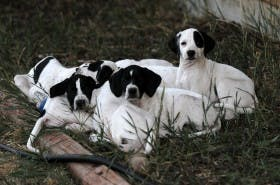 George Hickox's litter of pointer pups