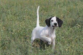 George Hickox's pointer, Diva