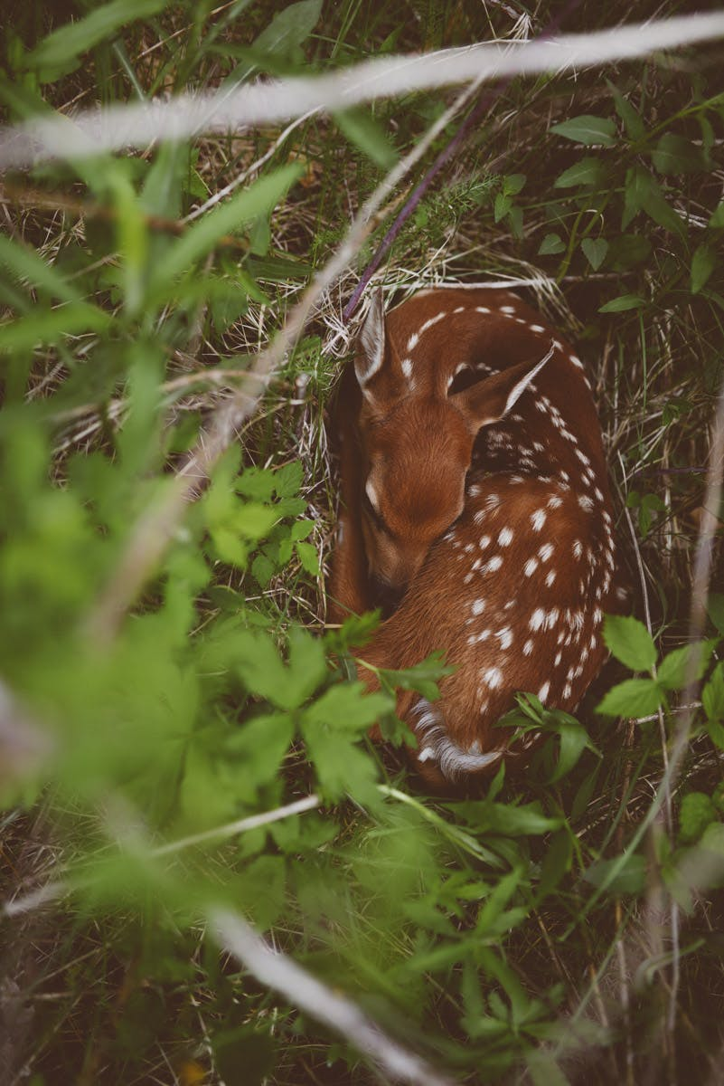 Fawn on South Pine - Justin Meyer