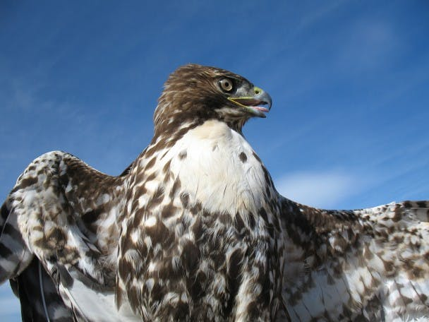 Adult Red-Tailed Hawk.