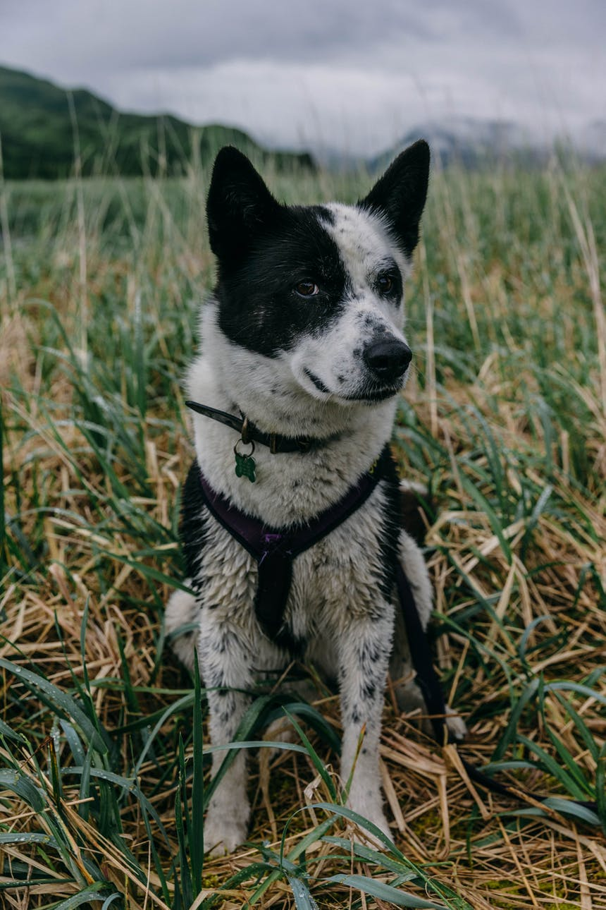 black and white dog with harness on sits in grassy field