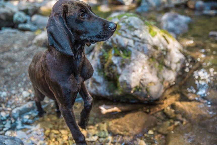 brown dog standing in rocky river bed