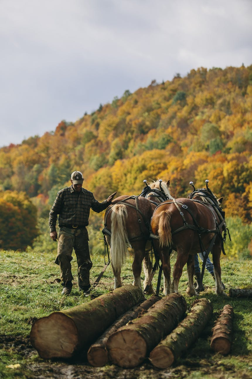 person walking horses pulling logs with autumnal trees in distance