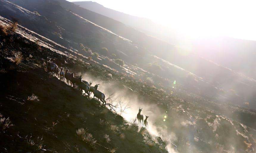 herd of bighorn sheep in dusty field