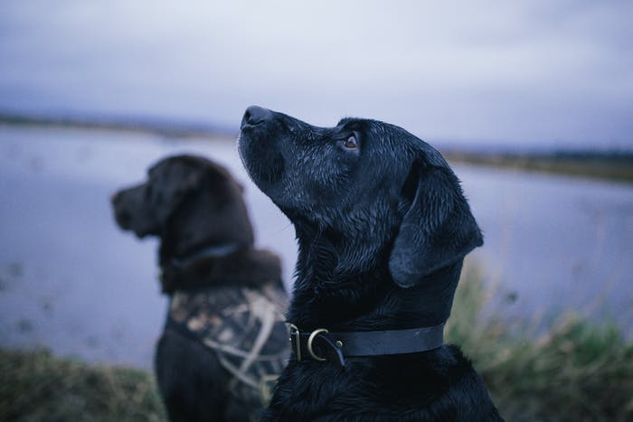 Two dark labradors. One wears a camouflage jacket. near edge of lake
