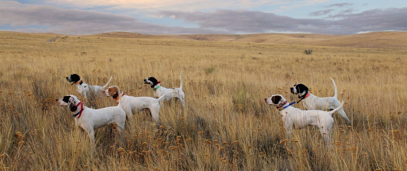 group of white dogs standing in grassy brown field