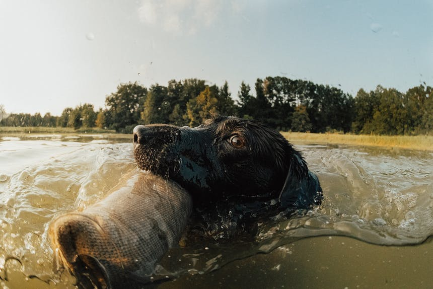dog on a water retrieve