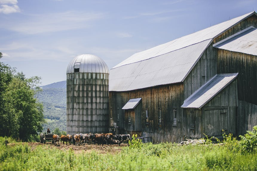 the barn and grain silo with herd of cattle in a green field