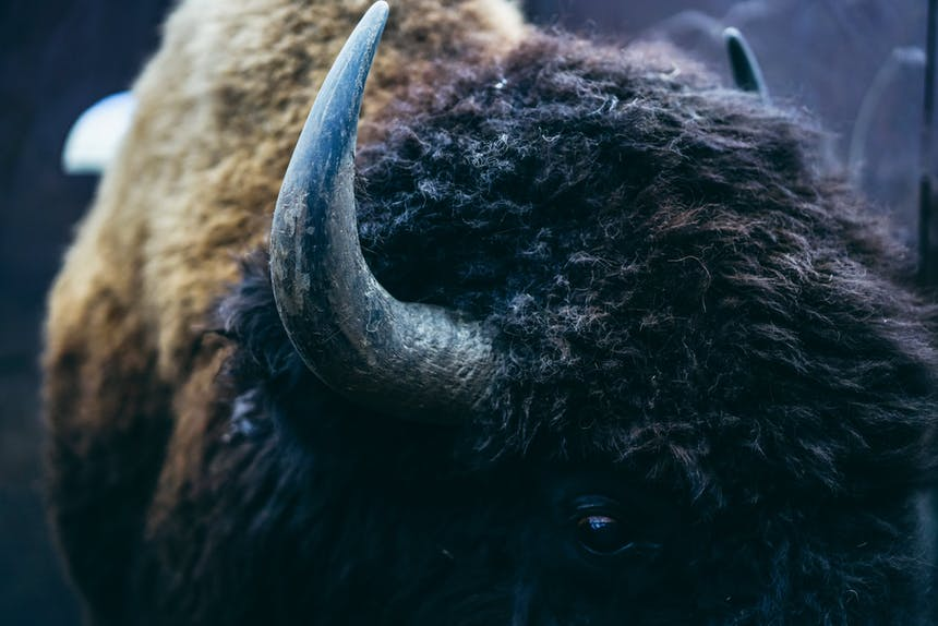 close up of bison face and horns