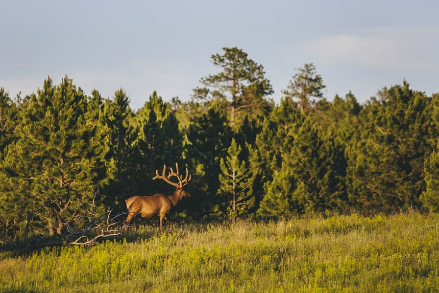 elk standing in small cluster of pine trees