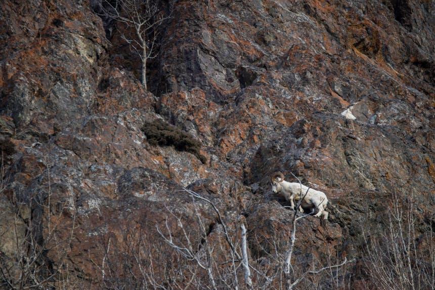 Dall sheep climbing a cliff in Alaska